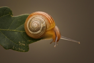 A snail moving along a leaf