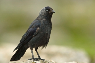 An adult jackdaw standing on a limestone rock