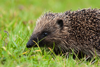 Close-up of a hedgehog walking through short grass