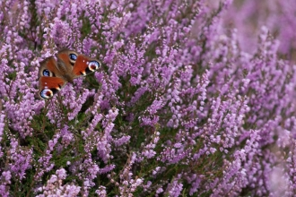 A peacock butterfly resting on heather flowers