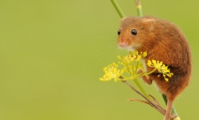 Harvest mouse Amy Lewis