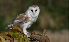 Barn owl by Peter Smith