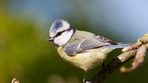 Blue tit   The Wildlife Trust for Lancashire, Manchester and North