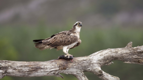 Osprey perched with fish