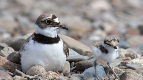 Little Ringed Plover with chick