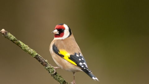 A goldfinch standing to attention on a tree branch