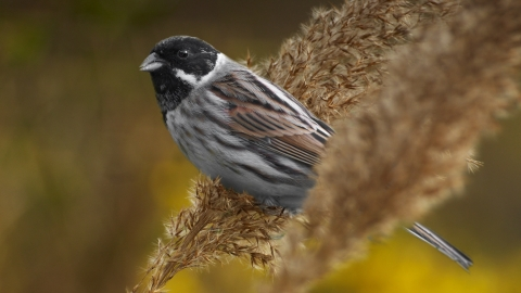 A reed bunting perched on reeds in front of yellow flowers at Holiday Moss