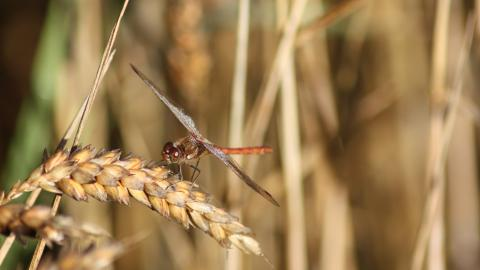 A dragonfly resting on vegetation at Cadishead Moss nature reserve