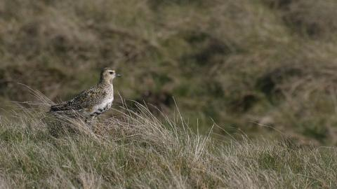 A golden plover at Highfield Moss nature reserve