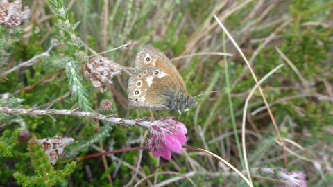 A large heath butterfly perched on a wildflower at Heysham Moss nature reserve