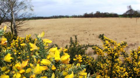 Bright yellow gorse bushes at Highfield Moss