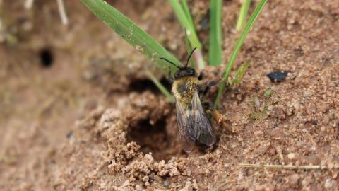 A solitary bee climbing out of its sandy burrow at Highfield Moss nature reserve
