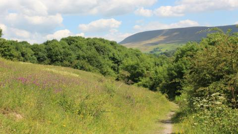 Wildflowers lining a footpath that leads to a woodland watched over by Pendle Hill