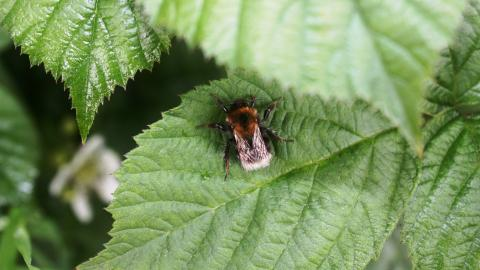 A bee resting on a leaf at Holiday Moss nature reserve
