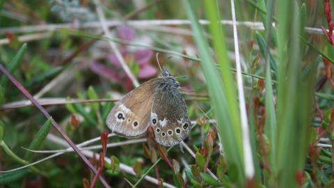 A large heath butterfly suspended in a spider web at Winmarleigh Moss