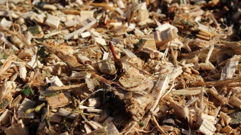 A red dragonfly resting on wood chippings at Astley Moss nature reserve