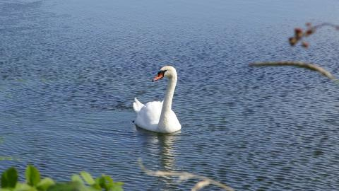 A swan on a lake on a sunny day at Middleton Nature Reserve