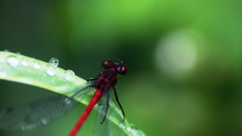 Close-up of a bright red damselfly sitting on a dew-covered leaf at Abram Flash