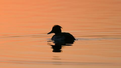 Silhouette of a tufted duck on the lake at Abram Flash at sunset
