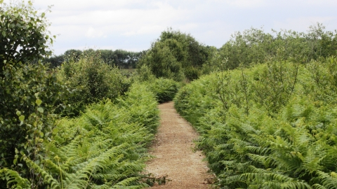A path through the ferns at Cadishead Moss nature reserve