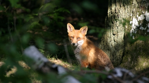 A fox sits in a sunny patch of woodland at Willow Farm Wood