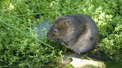 A water vole nibbling vegetation at Lunt Meadows nature reserve