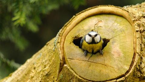 A blue tit perched at the entrance to a log