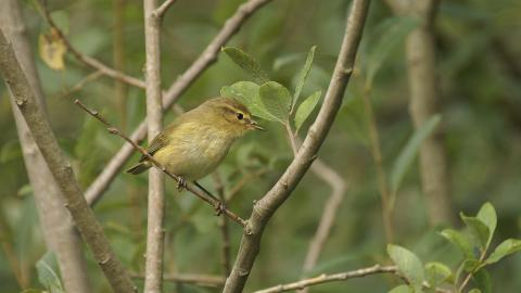 A chiffchaff perched on a branch in a woodland