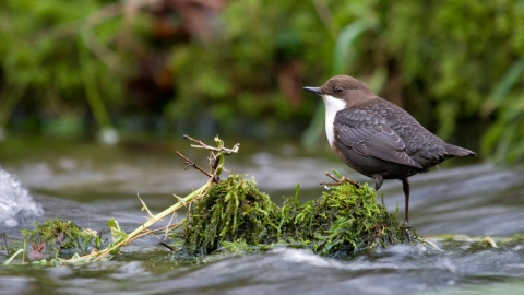 A dipper standing on top of a clump of moss in a river