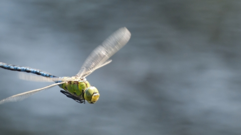 An emperor dragonfly flying over a body of water