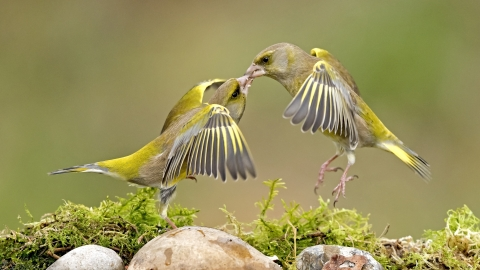 Greenfinches fighting next to a pool of water