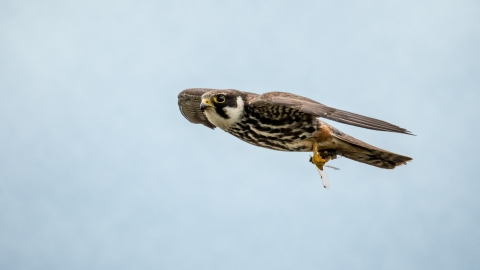 A hobby flying through the air with a dragonfly in its talons