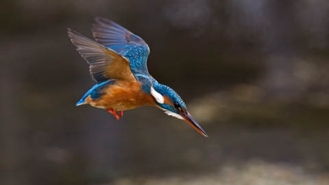 A kingfisher in flight as it dives into a river for food