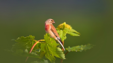A male linnet perched on a twig at the top of a bush