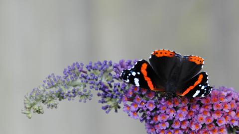A red admiral butterfly feeding on purple buddleja