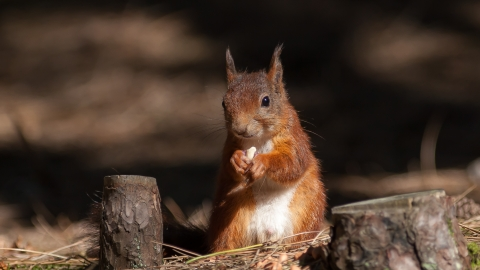 A red squirrel nibbling on a nut found in a pine forest