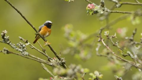 A redstart sitting on a tree branch and singing surrounded by new tree buds