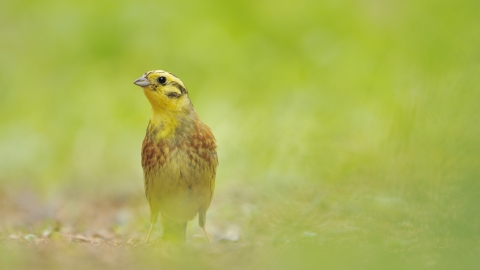 A yellowhammer on the ground among lush grass
