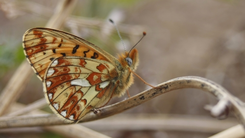 A pearl-bordered fritillary butterly standing on a twig