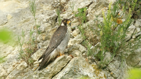 A peregrin falcon perched on a cliff