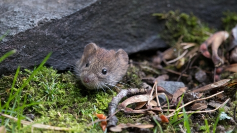 A bank vole peeking out from under a concrete slab