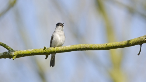 A blackcap perched on a tree branch and singing