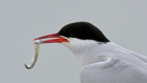 A common tern with a sand eel clasped in its bill