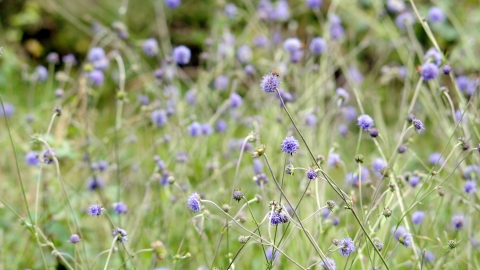Rows and rows of Devil's-bit scabious in a wildflower meadow
