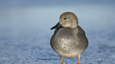 A gadwall standing on ice during winter