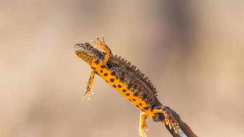 A great-crested newt swimming and showing off its orange belly