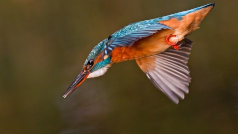 A kingfisher diving into a river after prey