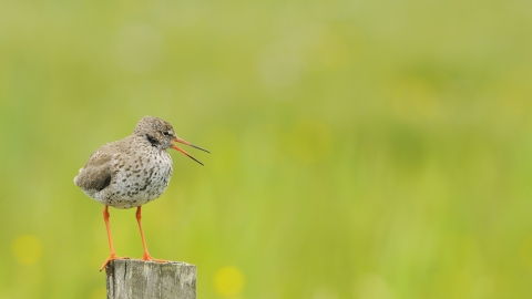 A redshank standing on a post next to a field and calling