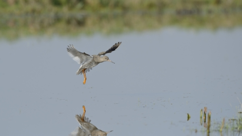 A redshank coming in to land over a pool of water on a marsh