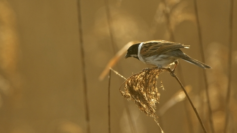 A male reed bunting perched on the tip of a reed at sunset